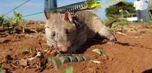 Apopo rats